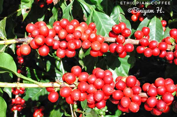 Coffee cherries at Monte Alegre-01
